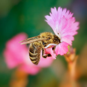 Butineuse dans une fleur rose