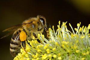 abeile récoltant du pollen