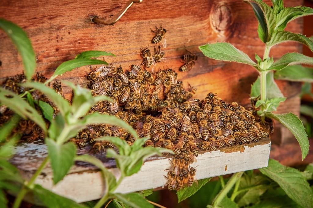 comment les abeilles r coltent la propolis recettes au miel du domaine apicole de chezelles. Black Bedroom Furniture Sets. Home Design Ideas