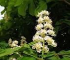 Fleur de Châtaignier