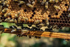 abeilles sur un rayon de ruche