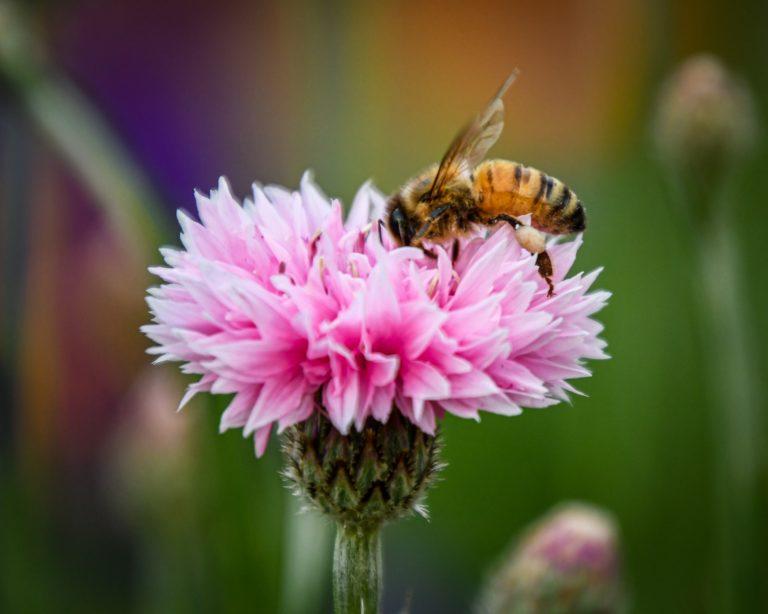 Abeille qui collecte du pollen