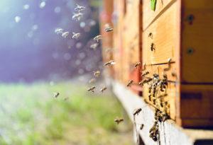 Abeilles entrant dans la ruche