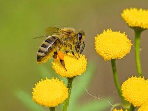 abeille butinant une fleur jaune