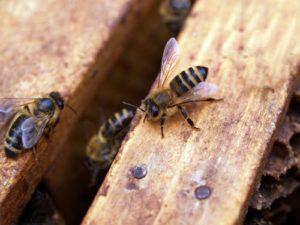 abeilles ouvrieres dans la ruche