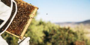 Apiculteur observant ses abeilles