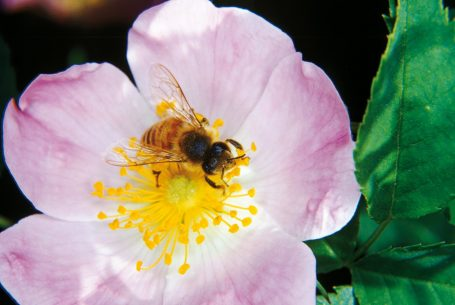 Fleur d'Eglantier au Domaine Apicole de Chezelles