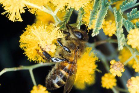 Feur de Mimosa au Domaine Apicole de Chezelles