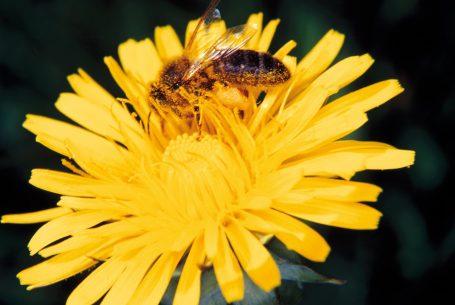 Fleur de pissenlit au Domaine Apicole Chezelles