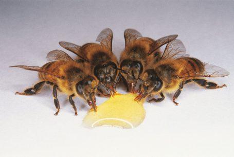 Une goutte de Miel au Domaine Apicole de Chezelles