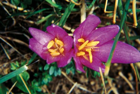 Fleur de Colchique au Domaine Apicole de Chezelles