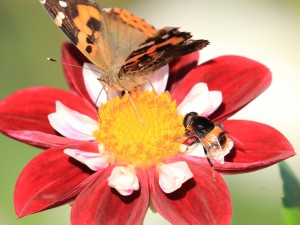 Butterfly and bee pollinating a dahlia flower(1)